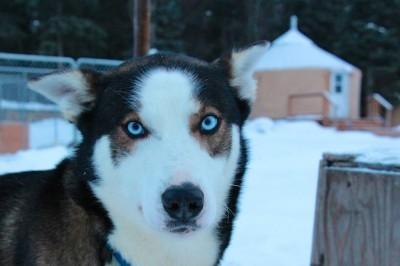 Alaskan Sled Dog Tours